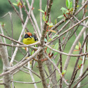 Yellow breasted brush finch