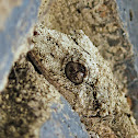 Southern Leaf-tailed Gecko