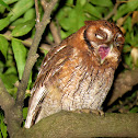 Tropical Screech-Owl / Corujinha-do-mato