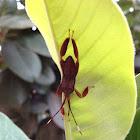 Late-intstar Leaf-footed Bug