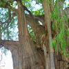 Montezuma Cypress or Tule