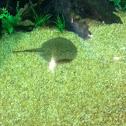 Occelate river stingray