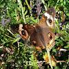 (Common) Buckeye butterfly