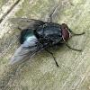 Blue Bottle Fly - male