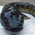 Orange-spotted snakehead