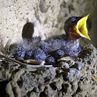 Cave Pacific Swallow hatchling