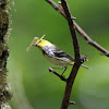 Black-throated Green Warbler (female)