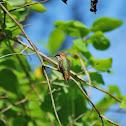 Rufous Humming Bird