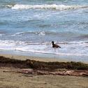 American Oystercatcher