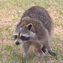 Raccoon / Waschbär