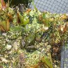 pelophylax kikker exulentus
