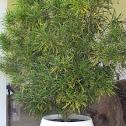 False Aralia Plant - Schefflera Elegantissima
