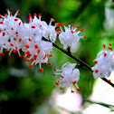 Asparagus Fern Flowers