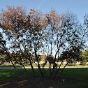 Juneberry Tree