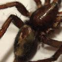 Ground spider (possibly the Parson spider)