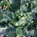 Perennial Brocolli (nine star)
