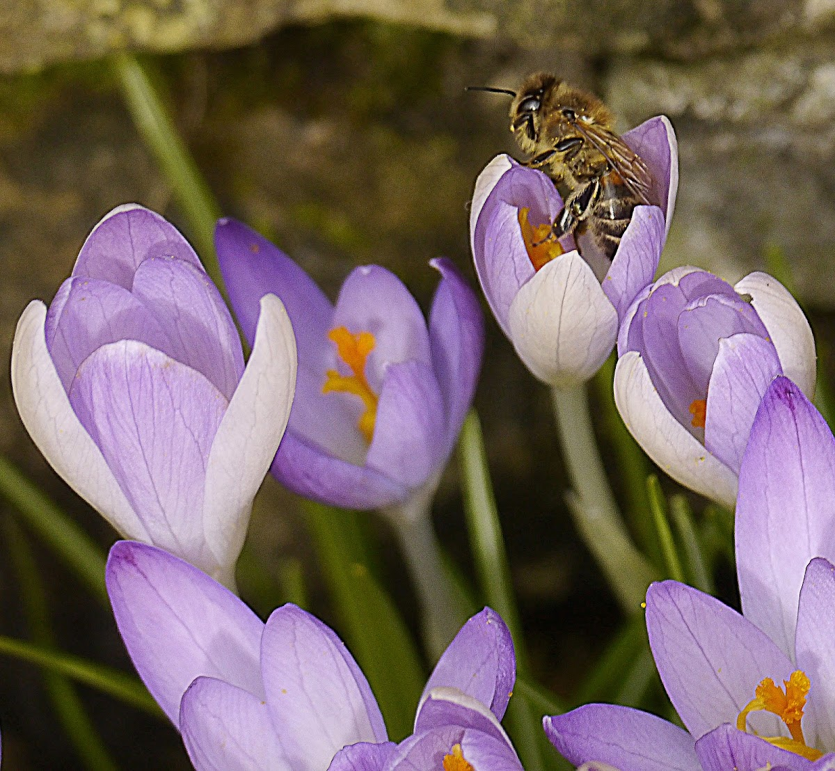 hairy footed flower bee (male)