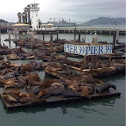 California Sea lions and seals