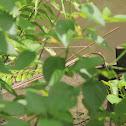 Broze-back Tree Snake