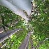 Clumping Giant Timber Bamboo