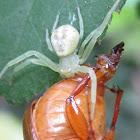 Little spider and prey