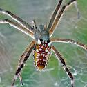 Tent-web spider (female)