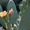 Flor da piteira