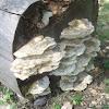 Bracket mushroom on tree