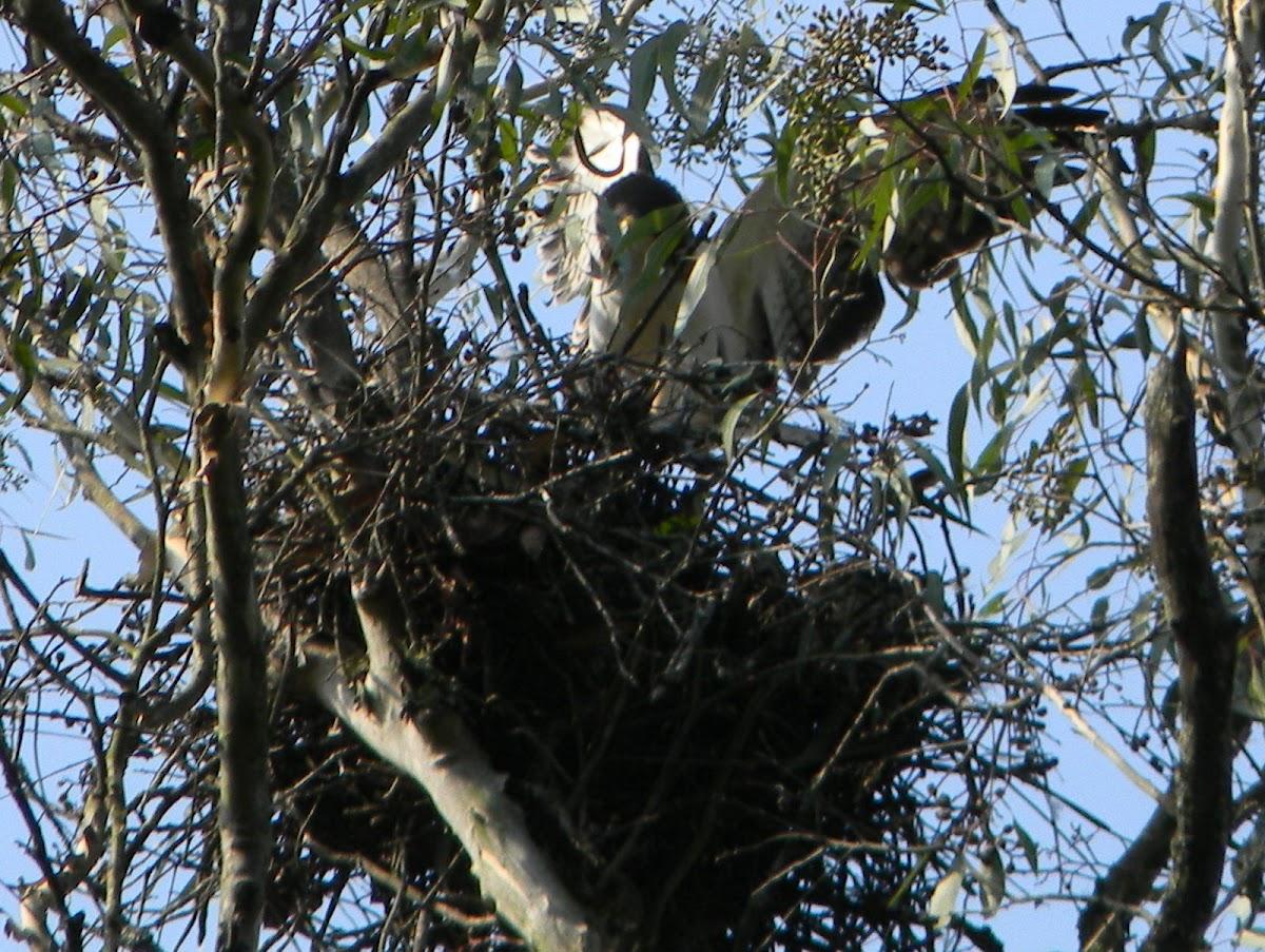 Short‐tailed Hawk
