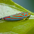 Red-banded leafhopper & ant