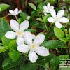 White Angel Flower