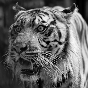 by Haryo Suryo - Black & White Animals ( face, cat, anger, angry, teeth )