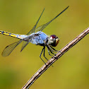 Yellow-tailed Ashy Skimmer