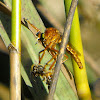 Hanging-Thief Robberfly