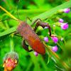 Leaf footed bug squash bug