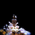 Harlequin Shrimp