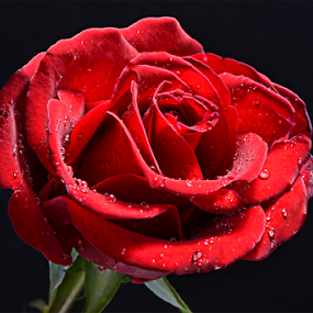 Rose by Sam Song - Nature Up Close Flowers - 2011-2013 (  )