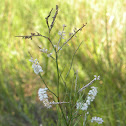 Giant spiral lady's tresses