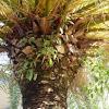 Planta parásita en palmera