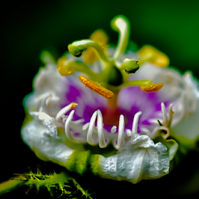 Passiflora by Jamaluddin Abdul Jalil - Flowers Flowers in the Wild ( #maracuja, #foetidia#passion fruit#vines, #passiflora#flowers#wild,  )