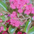 Pink Velour Crape Myrtles