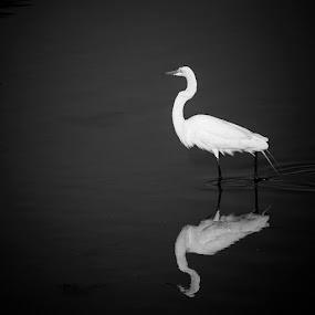 Reflections in the dark.Nice and elegant Egret, by Eduardo Llerandi - Black & White Animals (  )