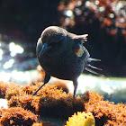 Tricolor Blackbird (male)