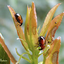 Red and black weevils