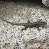 Iberian Rock Lizard (Lagartixa-da-montanha)