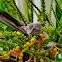 Asian Glossy Starling ( Juvenile )
