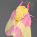 Pink & Yellow Fuzzy Moth