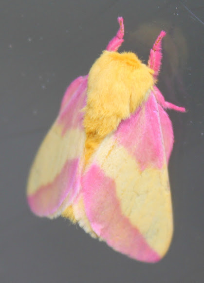 Pink Amp Yellow Fuzzy Moth Project Noah