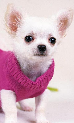 Chihuahuas Dog Wallpapers - screenshot