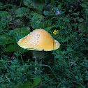 Yellow fly agaric